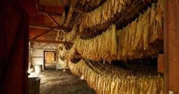 Connecticut Tobacco Crop Report